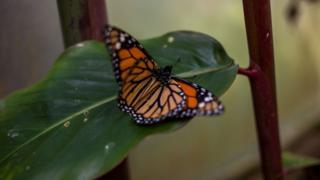 mariposa monarca sobre hoja