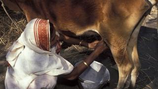 গরুর দুধ দোওয়াচ্ছেন এক নারী কৃষক।
