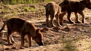 Wolf cubs in Jutland, Denmark, 2018