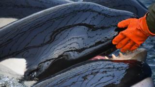 косатки в китовой тюрьме
