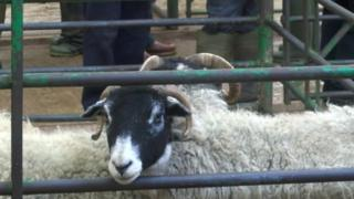 Sheep at identity parade