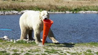 Polar bear with traffic cone