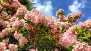 Rhododendrons in Bagley Woods