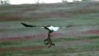 Eagle tries to take rabbit from fox