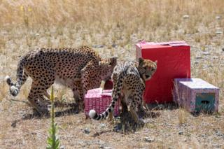 Cheetahs explored packages filled with treats