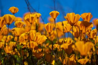 Poppies at Lake Elsinore on 22 March