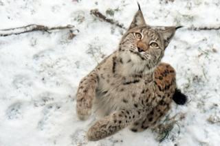 Рысь на снегу