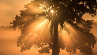 Oak tree in morning sunlight