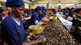 Cashew nut in Tanzania