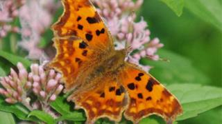 Bathed in sunshine, a Comma butterfly on a Hemp Agrimony at Painswick Rococo Garden in Painswick, Gloucestershire.