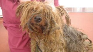 Poppy the Yorkshire terrier