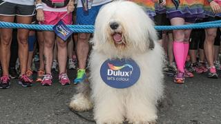 Old English Sheepdog advertising Dulux paint