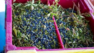 Métis Nation Saskatchewan - Picked wild blueberries