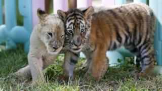 A lion and tiger cub walk close together