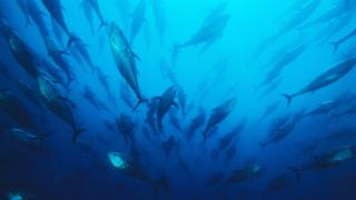 A school of northern bluefin tuna