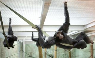 Siamang gibbons