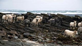 North Ronaldsay sheep