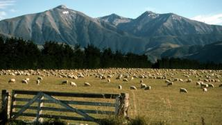 Sheep farm on South Island, New Zealand