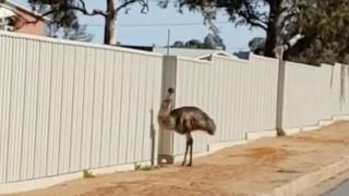 One of the thirsty emus that flock to Australian outback mining town is seen as drought deepens, Broken Hill, New South Wales, Australia on 16 August 2018
