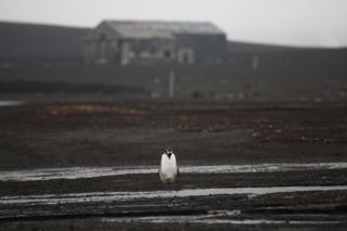 A lone penguin walking on a beach with a wooden building in the background