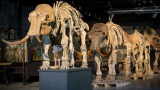 A family of mammoths being sold at auction