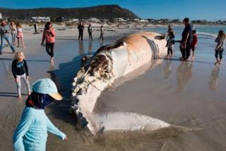 People look at the carcass of a Brydes Whale on Kommetjie beach in Cape Town.