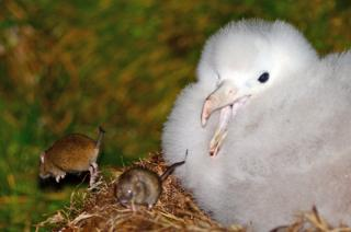 Mice attacking an albatrosses chick on the Island of Gough in the South Atlantic