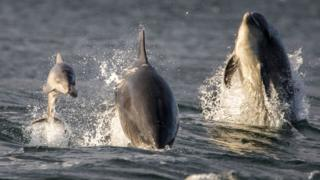 Water baby: Weeks old dolphin pictured in Moray Firth
