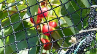 Вишня в саду в кенте