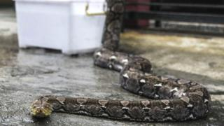 Seticular python in a photograph in Indonesia