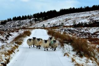 Sheep on the Pentland Road, Isle of Lewis.