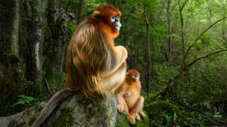 Qinling golden snub-nosed monkeys