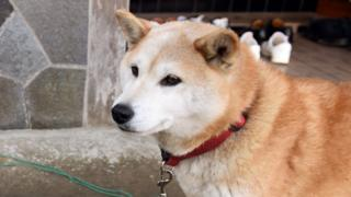 A Japanese Shiba Inu dog