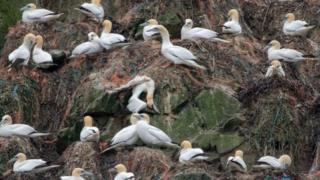 Alderney's gannets