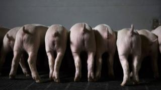 Generic image of pigs facing away from camera while eating