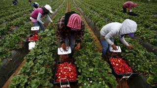 Recolectores de frutas en Baja California, México