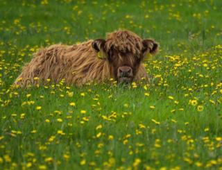 Highland calf outside Gairloch near Big Sands
