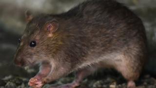 A rat in Tokyo's Shinbashi area, near the Tsukiji fish market.