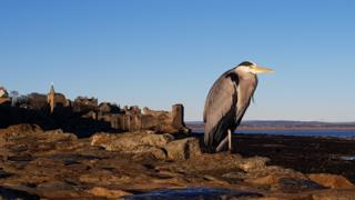 grey heron at St Andrews harbour