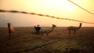 Spokes hangs over five llamas in a field
