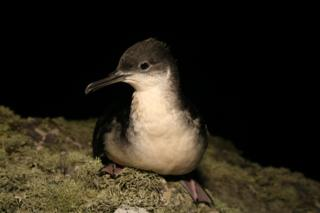 A Manx shearwater bird at night