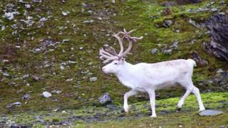 White reindeer came close to Kevin and his team