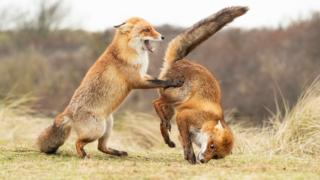red fox on the left is standing up holding onto red fox on the right who is upside down in the air.