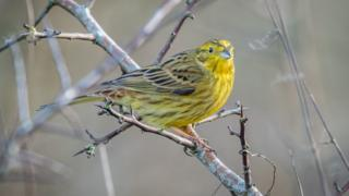 Yellowhammer at Otmoor