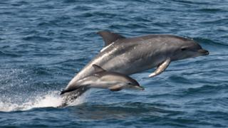 Dolphins in Cardigan Bay