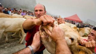Tres vacas como la de la fotografía es con lo que pagan los alcaldes de Baretous cada año su deuda histórica.