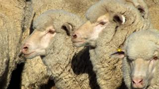 A generic image of merino sheep
