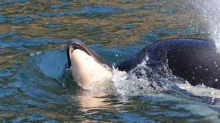 虎鲸与她的幼鲸