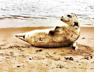 Seal pup on St Cyrus beach