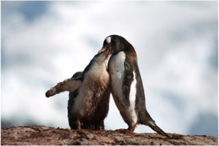 A penguin feeding a baby penguin by regurgitating food in to its mouth